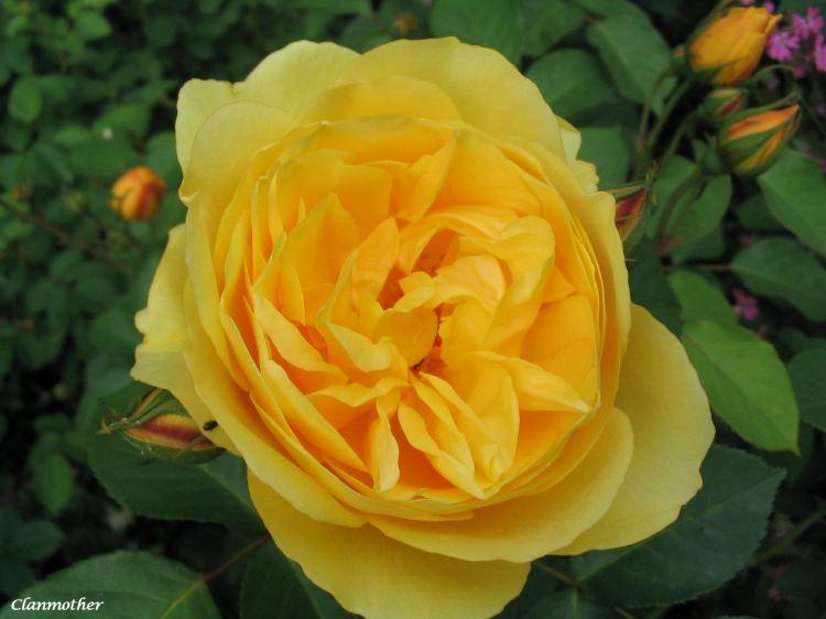 A Paris Rose