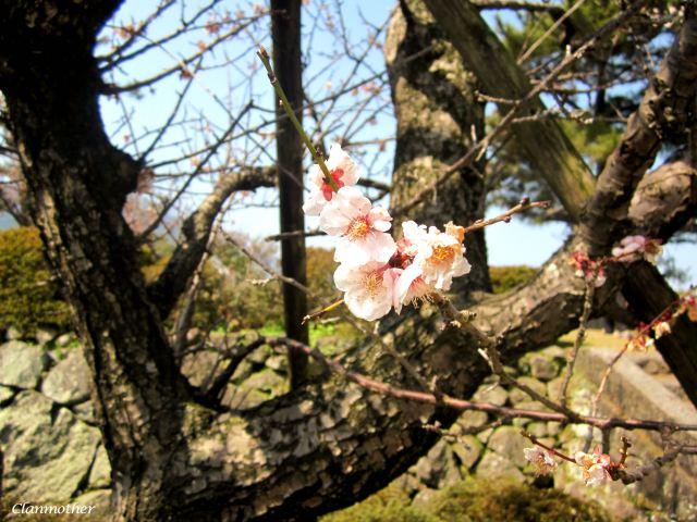 Flower of Japan
