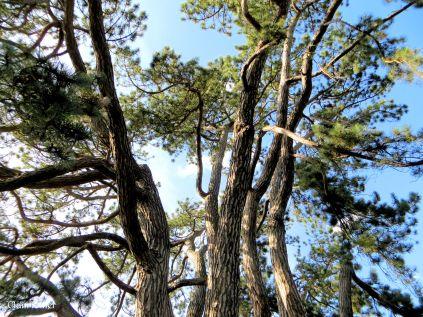 J.R.R.Tolkien's Tree. Oxford Botanic Garden