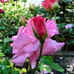 Artists in a Rose Garden