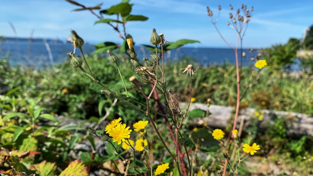 Yellow Wildflowers growing next to an ocean beach.
