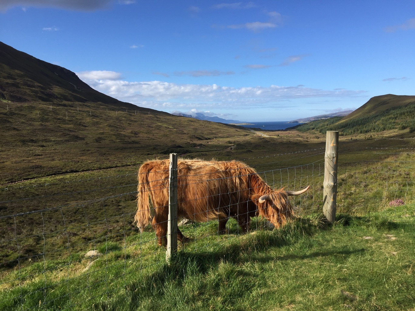 The Highland Cow, The Gentle Giant of Scotland